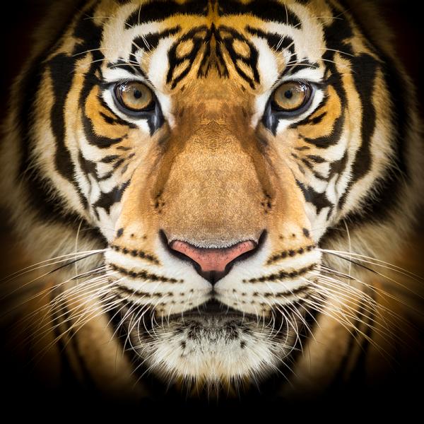 Dark Burner Black Tiger Aroma